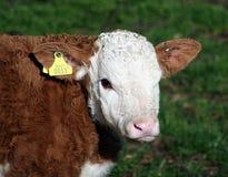 Uma vitela marrom e branca com o Tag amarelo da identificação Foto de Stock