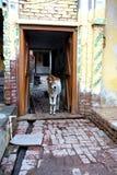 Uma vitela na entrada da vila Imagem de Stock Royalty Free