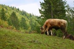 Uma vitela nas montanhas imagens de stock
