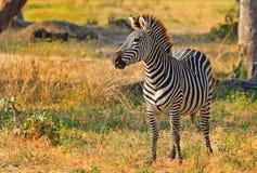 Uma vitela nova da zebra dentro na meseta do arbusto na paridade do nacional de Hwange fotografia de stock royalty free