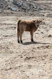 Uma vitela nova das montanhas foto de stock royalty free