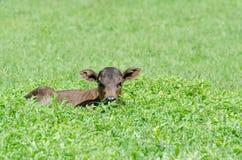 Uma vitela pequena Hidding de Brown na grama Imagens de Stock