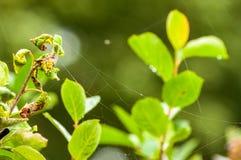 Uma Web de aranha entre as folhas após a chuva imagens de stock