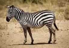 Uma zebra Imagens de Stock Royalty Free