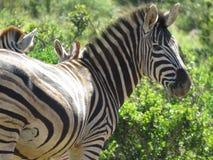 Uma zebra Imagem de Stock Royalty Free