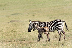 Uma zebra bonita do bebê na proteção das mães Imagens de Stock Royalty Free