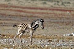 Uma zebra do bebê para para um pequenino, fazendo o seu vulnerável imagem de stock