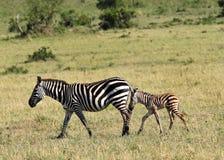 Uma zebra do bebê que anda junto com a mãe Imagem de Stock