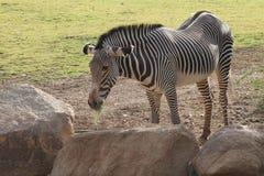 Uma zebra do ` s de Grevy que come algum feno Fotos de Stock