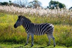 Uma zebra em seu habitat natural, África do Sul fotografia de stock