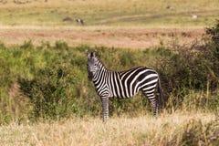 Uma zebra em um monte no savana Masai Mara, Kenya Fotos de Stock Royalty Free