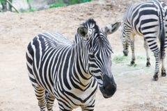 Uma zebra enfrenta para a frente quando a outro comer no fundo Foto de Stock