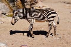 Uma zebra que anda no jardim zoológico de Albuquerque nanômetro fotos de stock