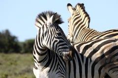 Uma zebra que olha atrás Fotografia de Stock Royalty Free