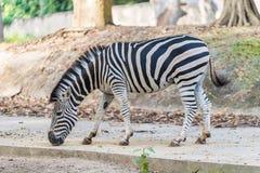Uma zebra sob o captiveiro em um jardim zoológico privado foto de stock