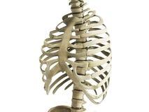Uman kośca ziobro z kręgowej kolumny anatomii Anterior widokiem 3 Obrazy Stock