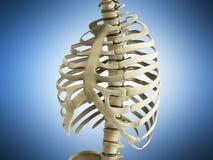 Uman kośca ziobro z kręgowej kolumny anatomii Anterior widokiem 3 Zdjęcia Royalty Free