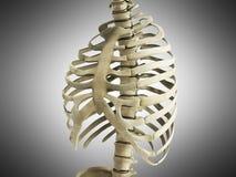 Uman Skeleton Ribs with vertebral column Anatomy Anterior view 3 Royalty Free Stock Image