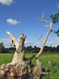 umarłe drzewo Zdjęcia Royalty Free