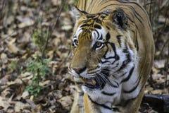 Umar Pani, Kanha male tiger T30 royalty free stock images