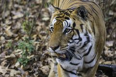 Umar Pani Kanha manlig tiger T30 royaltyfria bilder
