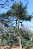 Umarmen von Bäumen im Central Park, New York Stockfotos