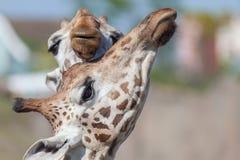 Umarmen von Giraffen lizenzfreie stockfotos