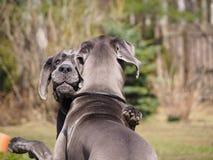 Umarmungen und Spielhunde züchten blaue Farbe great danes stockfoto