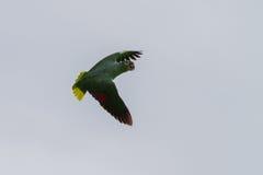 Umas Amazonas Mealy Foto de Stock Royalty Free