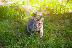 Umas caminhadas de gato listradas novas, bonitas na natureza Foto de Stock Royalty Free