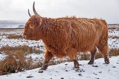 Umas montanhas Bull em nevado amarram Foto de Stock