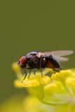 umbel пастернака мухы плоти одичалое стоковая фотография rf