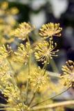 Umbel укропа (graveolens Anethum) стоковая фотография