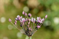 Umbel con las flores rosadas elegantes de la flor floreciente de la precipitación o del cisne imagenes de archivo
