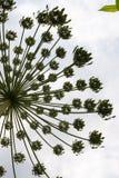 Umbel con las semillas del hogweed foto de archivo
