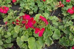Umbel de flores rojas del Pelargonium zonal imagenes de archivo