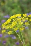 Umbel del eneldo contra fondo verde y flores azules imágenes de archivo libres de regalías