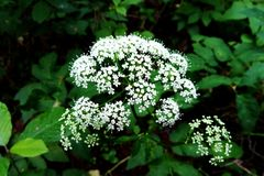 Umbel with flowers of Cow Parsley .Anthriscus sylvestris stock image
