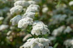 Umbel le gusta el fondo de la naturaleza de las flores blancas foto de archivo