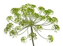 Free Umbel Of Dill Weed On The White Background Stock Photo - 107320030