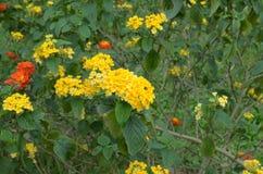 Lantana camara. Umbelanterna known as wild-sage, red-sage is species of flowering plant within the verbena family stock photography