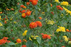 Lantana camara flowers. Umbelanterna known as wild-sage, red-sage is species of flowering plant within the verbena family royalty free stock photos