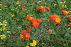 Lantana camara flowers. Umbelanterna known as wild-sage, red-sage is species of flowering plant within the verbena family stock image