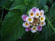 Umbelanterna & x28; Latijnse 'Lantana Camara '& x29; bloem, close-up royalty-vrije stock afbeeldingen
