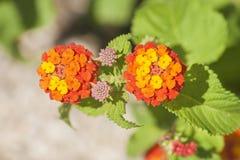 Umbelanterna known as wild-sage, red-sage is species of flowering plant within the verbena family. Umbelanterna Latin Lantana camara, also known as wild-sage royalty free stock images