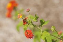 Umbelanterna known as wild-sage, red-sage is species of flowering plant within the verbena family. Umbelanterna Latin Lantana camara, also known as wild-sage stock photos