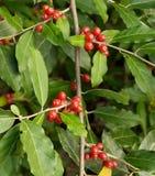 成熟秋天橄榄色的莓果(胡颓子属Umbellata) 库存照片