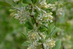 Umbellata del Elaeagnus en la floración Imagenes de archivo