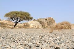 Umbellate acacia in Arabische Woestijn Royalty-vrije Stock Afbeelding