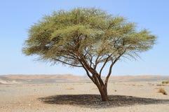 Umbellate acacia in Arabische Woestijn, Royalty-vrije Stock Afbeelding